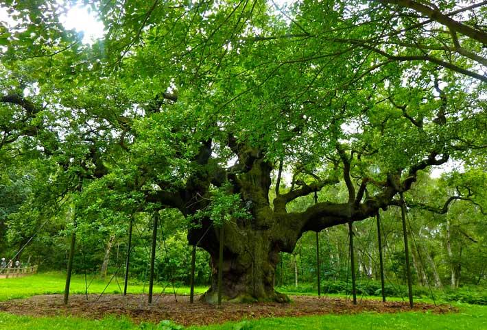 In pericolo l'albero più amato d' Inghilterra